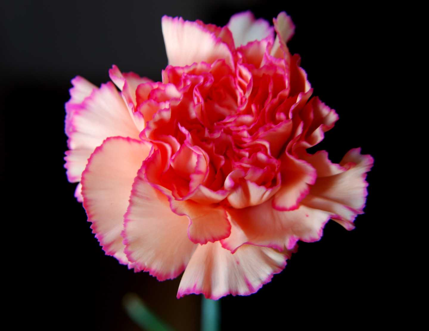 Carnation